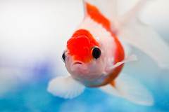 blue orange white fish water look dead aquarium eyes bigmouth sad goldfish lips scales frown sully sullen fins gravel bipolar img7888 pearlscale cmwd cmwdorange