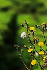 _0027702 (zhee) Tags: flower green colors yellow bokeh smooth malaysia bunga terengganu kualaterengganu zhee