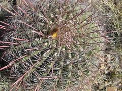 IMG_1890 (Puggeroni) Tags: tucson saguaronationalpark