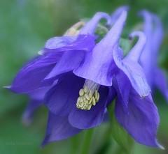 Pomp (lynne_b) Tags: blue flower nature illinois spring flora midwest seasons purple blossom explore bloom columbine perennial springflower interestingness110 whohoo vosplusbellesphotos