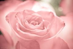 this is for you (=Я|Rod=) Tags: pink flower macro beauty closeup iso800 tripod softness indoor valentine nocrop sweetness lightroom onexplore preset f33 115s silkiness nikond80 theunforgettablepictures macrolife 4mazingorgeoushotsoflowers nikonafs6028 6090mm ©rerod я|r ©reinerrodekohr
