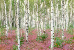 birches (Sandra Bartocha) Tags: trees summer nature forest germany heather august heath erica birches naturesbest abigfave schlaubetal goldstaraward wildwondersofeurope reicherskreuzerheide csandrabartocha wwwbartochaphotographycom
