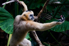 Gibbon Catching a Treat (Evan Animals) Tags: great ape primate gibbon whitecheekedgibbon bronxzoonewyork itsazoooutthere