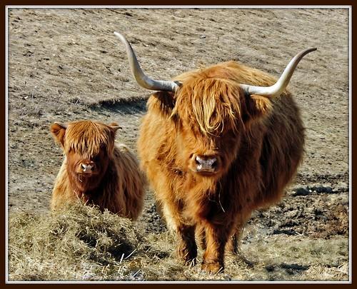 Highland Bull and Calf