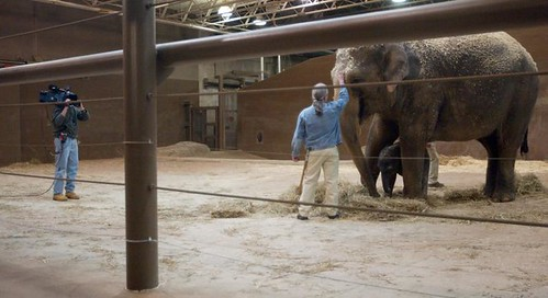 A tv videographer does a live spot for the noon news with the Asian elephant mother Phoebe and her new son along with the handlers at the Columbus Zoo on April 3, 2009.