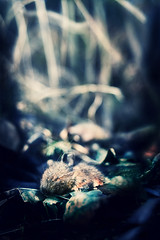 The Longest Sleep (koinis) Tags: blue light macro leaves john dead mouse death rat dof cross bokeh sleep sigma explore processing 24mm longest 18 tones the koinberg koinis