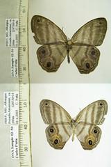 Chloreuptychia marica
