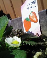 【アドエスphoto】イチゴの花も咲い$?!*