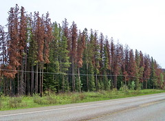 hwy16_07f25 Budworm Spruce Trees, BC 2007 (CanadaGood) Tags: canada color colour tree green highway bc pavement britishcolumbia 2007 2000s highway16 yellowheadhighway canadagood