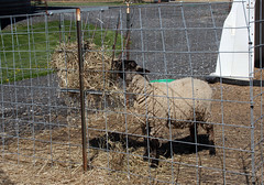 Lamb eating hay