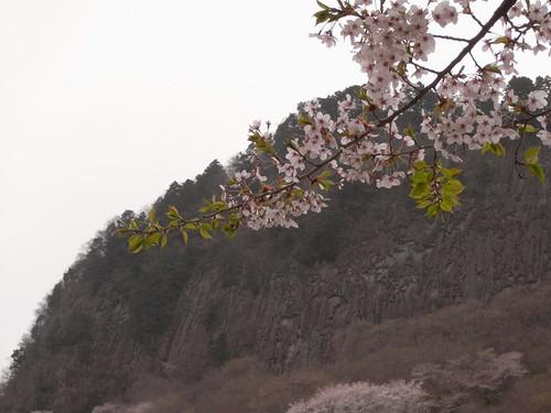 【桜】『屏風岩公苑』@曽爾村-05