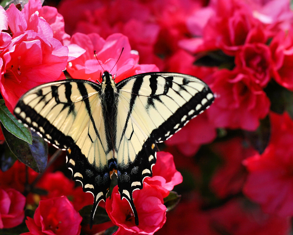 swallowtail on azalea bush