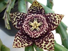 Orbea variegata (nirene) Tags: macro flor jardín orbeavariegata stapeliavariegata famapocináceas suculentanocactácea