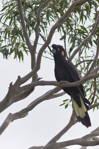 Yellow-tailed Black-Cockatoo