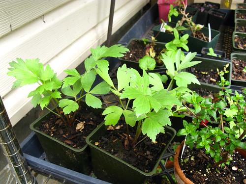 2009-05-06 garden; Levisticum o.