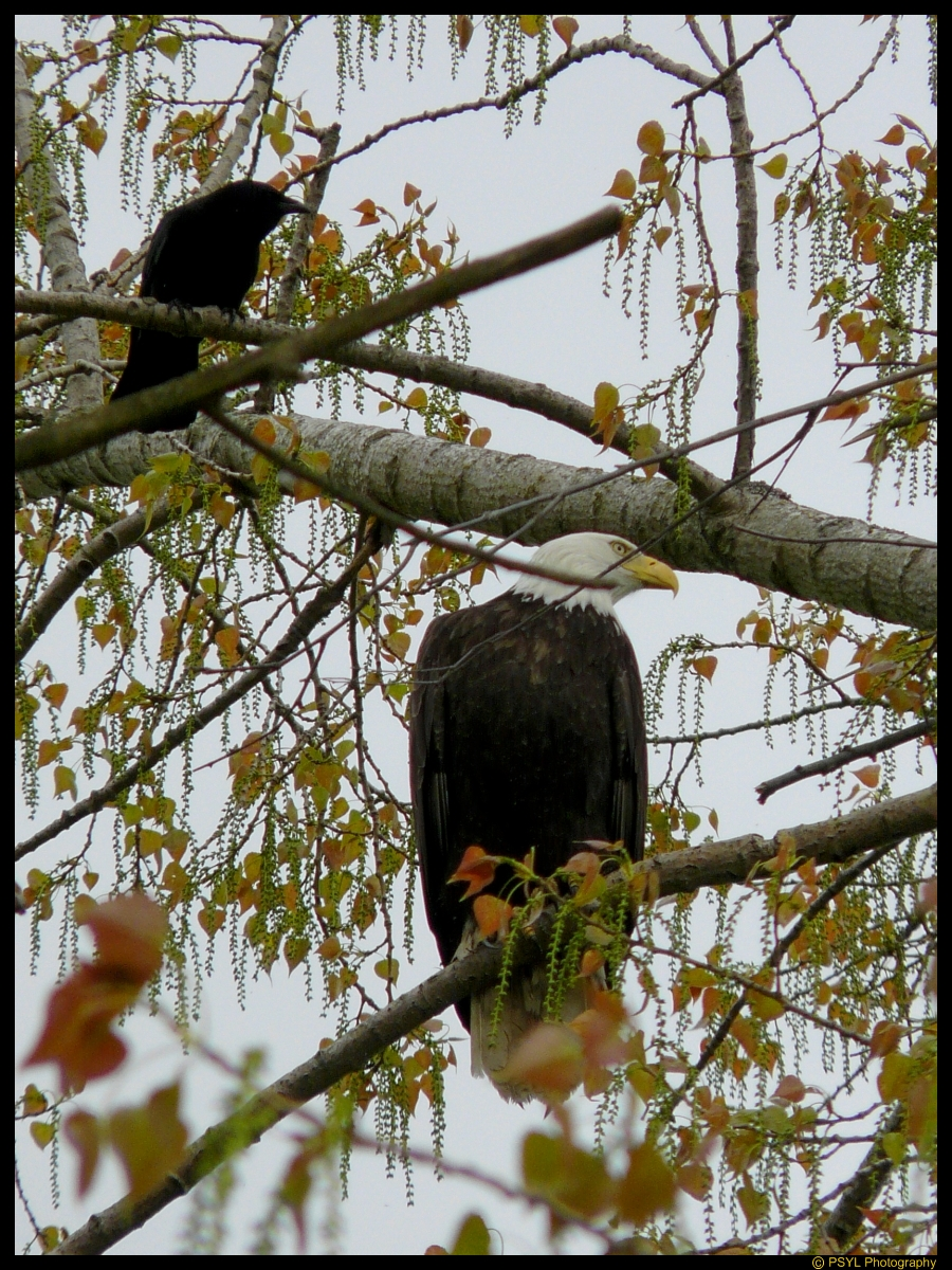 Bald Eagle (Haliaeetus leucocephalus) and annoying crow