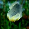 Solarize Tulip
