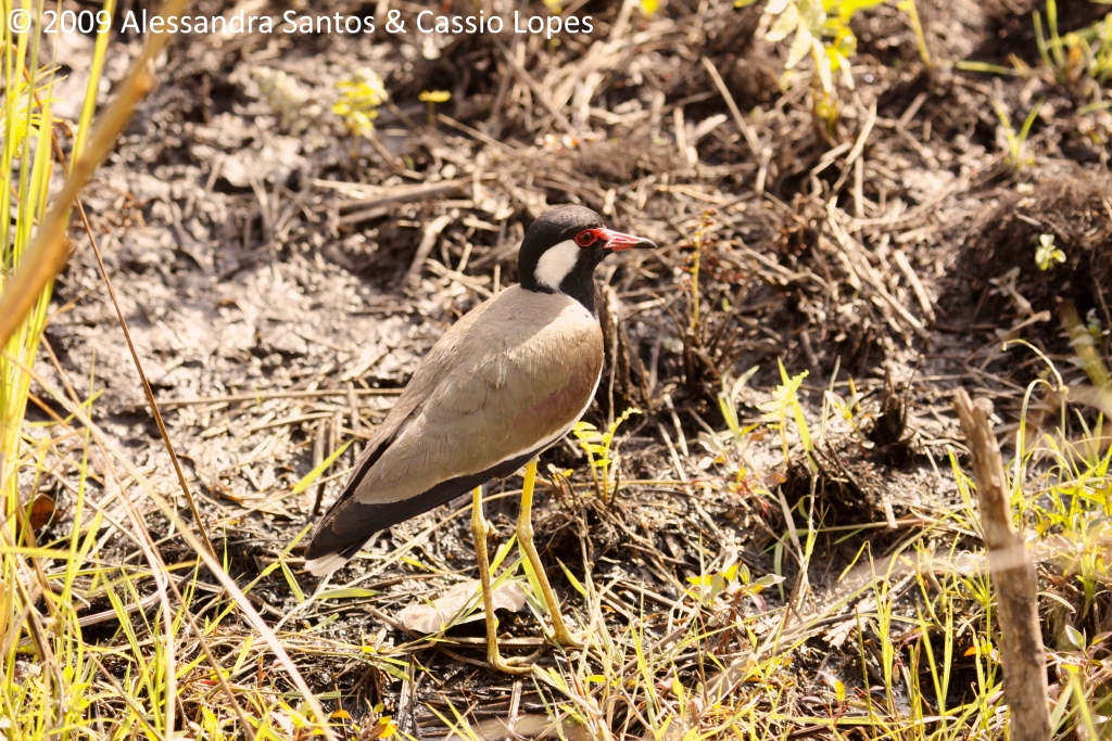 Red-watted Lawping _MG_0675_F