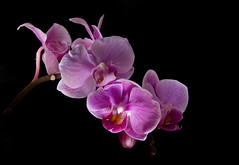 213. Pink Orchid