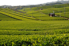 Yame tea plantation (kanegen) Tags: green japan nikon tea plantation 日本 fukuoka 风景 緑 2009 風景 福岡 茶 景色 茶園 yame d90 ニコン 八女