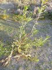 coastal banksia - rutting damage