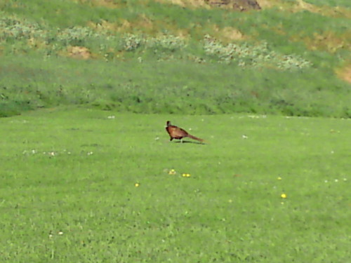 Sneaky pheasant