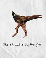 MSNTCE: Day 18 (Willbryantplz) Tags: animal pheasant dumb fast msce phast msntce