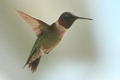Ruby Throated Humming Bird (Male) (Chickadee (Carole)) Tags: male hummingbird flight rubythroatedhummingbird chickadeed