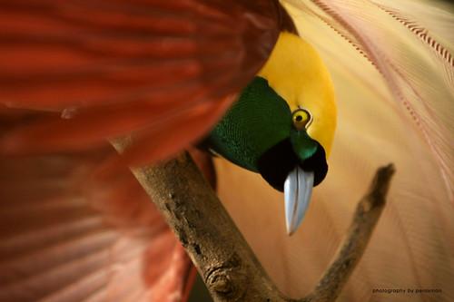 cenderawasih | bird of paradise by perakman.