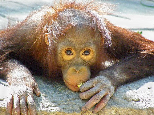 Bornean Orangutan baby at Phx Zoo