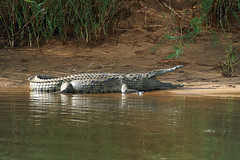 Nile Crocodile (Crocodylus niloticus) (Arno Meintjes Wildlife) Tags: africa park camp wallpaper nature southafrica bush wildlife safari crocodile predator rsa krugernationalpark kruger nilecrocodile parkstock crocodylusniloticus arnomeintjes louisemeintjes vosplusbellesphotos