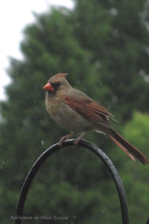 female cardinal photo by Adrienne in Ohio