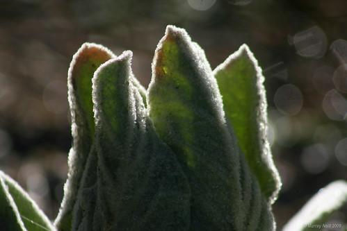 Wintering Foxglove