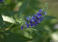 Chaste Tree [Vitex] bloom