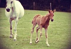 baby steps (masquerade_arts) Tags: horses animals arab soe foal babyanimals