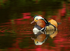 Mandarin (gregseed) Tags: reflection bird water duck rhododendron isawyoufirst