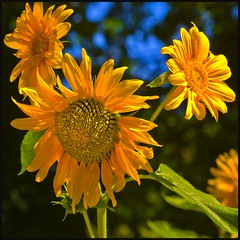 Girasoles - Sunflowers (Pilar Azaa) Tags: madrid light flower color colour luz spain flor sunflowers girasoles helianthusannuus mywinners abigfave thesuperbmasterpiece jardnbotnicomadrid 100commentgroup pilarazaa
