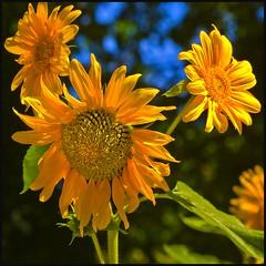 Girasoles - Sunflowers (Pilar Azaña Talán ) Tags: madrid light flower color colour luz spain flor sunflowers girasoles helianthusannuus mywinners abigfave thesuperbmasterpiece jardínbotánicomadrid 100commentgroup pilarazaña