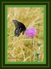 Black Swallowtail Butterfly on Basket Flower (Bea Hive) Tags: usa field butterfly texas thistle swallowtail americanstar basketflower