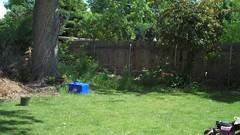 Fledgling (boisebluebird) Tags: bird boise fledgling boisebluebirdcom httpwwwboisebluebirdcom boiselandscaping boisegardener