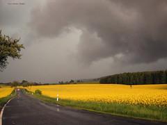 Unwetter - thunderstorm (Veri's kleiner Winkel) Tags: storm field rain yellow clouds grey dresden wind wolken grau gelb tornado raps regen rapeseed sturm orkan rapsfeld unwetter
