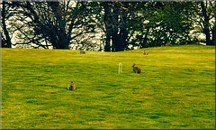 Scotland West Highlands Greshornish island of Skye rabbits on the croquet lawn by Anne MacKay (Anne MacKay images of interest & wonder) Tags: west skye by island anne scotland highlands lawn picture mackay rabbits croquet greshornish