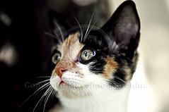 001640 D 300 (Massimo Marchina) Tags: italy animals cat italia gato katze gatto vicenza veneto mimì afsnikkor80200128dnikoned