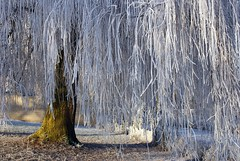 A frosty willow (Cajaflez) Tags: schnee winter holland frost hiver nederland thenetherlands explore willow neige wilf cubism vorst blueribbonwinner thegalaxy passionphotography abigfave flickrdiamond theunforgettablepictures goldstaraward spiritofphotography 100commentgroup vosplusbellesphotos ubej mallmixstaraward rememberthatmomentlevel4 rememberthatmomentlevel1 rememberthatmomentlevel2 rememberthatmomentlevel3 rememberthatmomentlevel9 rememberthatmomentlevel5 rememberthatmomentlevel6 rememberthatmomentlevel10