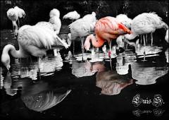 Flamencos (Errlucho) Tags: cutout zoo agua aves flamencos orton reflejos abigfave errlucho