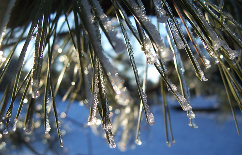 Sun on frosty pine needles