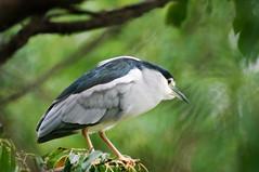 LR9526 (shangmin) Tags: nature birds animals taiwan taipei 台灣 台北 daanforestpark 動物 大安森林公園 taipeicity 鳥 台北市 鳥類 sigma70300 夜鷺