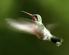 SULLENBERGER (risquillo) Tags: motion green bird nature speed mexico fly nikon hummingbird d2x explore sb800 risquillo sullenberger birdwathers