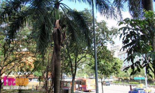 Dead leaves dangling from palm tree can crack your skull!