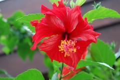 Hybiscus (szomkat) Tags: red bali holiday flower hotel hibiscus tropic hybiscus virg piros thepatrabali hibiscuswonder